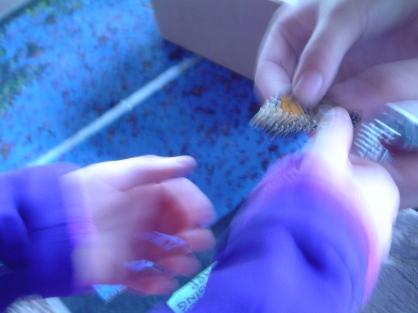 Monarch Tagging 11a